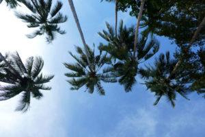 Les palmiers à gogo