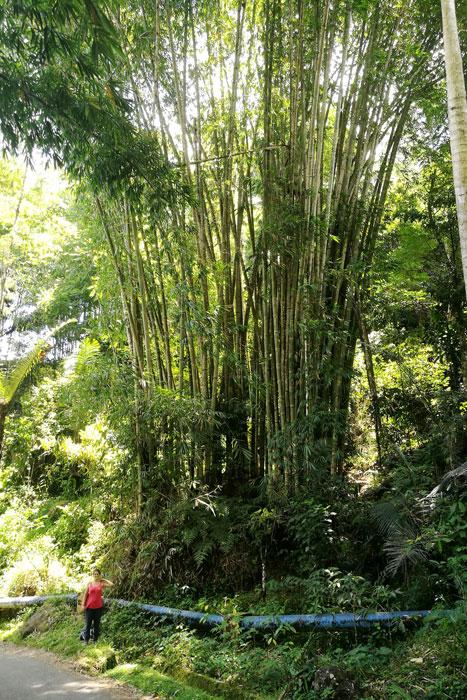 Les méga bambous