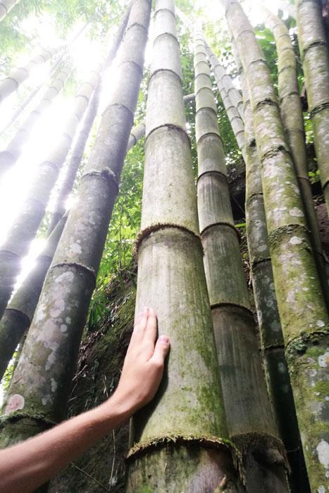 Les méga bambous !