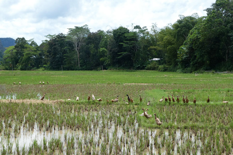 Les canards prennent leur bain dans les rizières