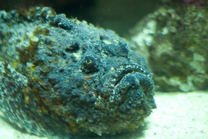 Un poisson pierre