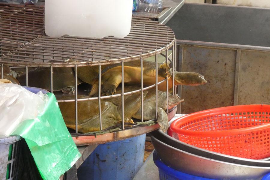 Les tortues veulent s'enfuir
