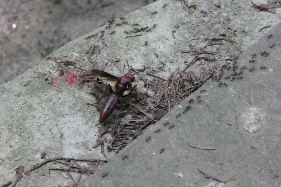 La mega abeille-fourmi qui s'est posée sur Paul (voyez sa taille par rapport aux petites fourmis à côté)