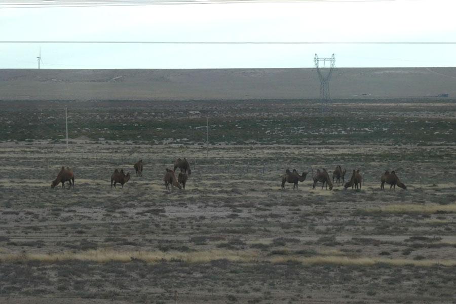 Nos premiers chameaux !