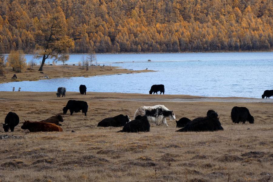 Des yaks