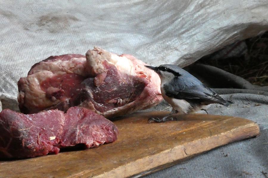 Même les oiseaux mangent de la viande ici