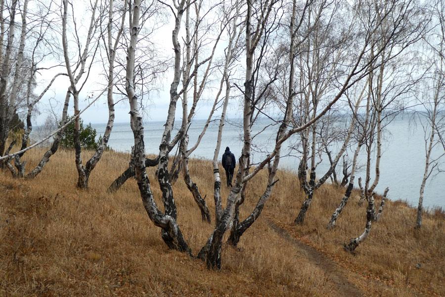 Les nombreux bouleaux du lac